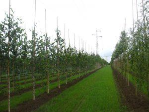 Bäume in der Baumschule eines Vorkommensgebietes